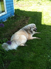 Grimm on a visit (ekpatterson) Tags: dog june malamute greatpyrenees grimm 2013