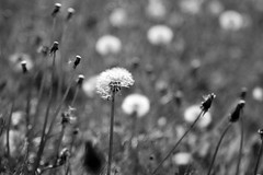 Battered By The Breeze (Nicola Riley) Tags: blackandwhite nature monochrome field closeup canon countryside weeds bokeh 7d stems clocks 2470l dandelions dandelionclocks canon7d nicolariley