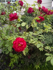 June Roses (artistmac) Tags: city flowers red roses urban chicago june rose illinois bush redrose il thorns shrub redroses