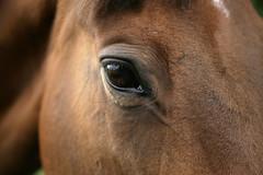 Eye Spy (Adam Swaine) Tags: county uk england horses macro eye english beautiful animals canon photography countryside britain wildlife east counties naturelovers lincs 24105mm swaine thisphotorocks adamswaine mostbeautifulpicturesmbppictures wwwadamswainecouk