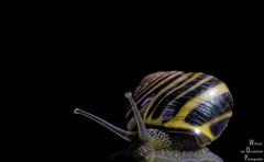 Searching (explored) (Xlavius) Tags: house macro eyes slow pentax snail da slime van portfolio 35 limited k5 oosterhout wilfried darness da35ltd