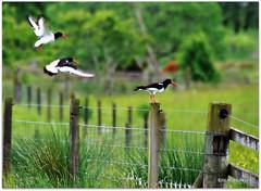 Oystercatchers (eric robb niven) Tags: walking scotland farmland dunkeld birnam wildbird pentaxk200d balhomish ericrobbniven