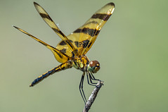 halloween pennant (explored 7/2/2013) (robert salinas) Tags: dragonflies sigma odonata a57 hornsbybend
