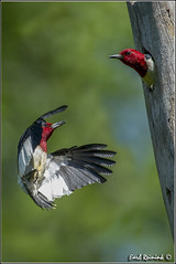 Red-headed Woodpecker (130609-0017) (Earl Reinink) Tags: ontario canada art nature photography woodpecker nikon flickr photographer nest image images earl flikr d4 art nikon photography images nature lens ontario canada ontbirds fine earl flight photographer lenses woodpecker woodpecker reinink nesting reinink d4 niagara