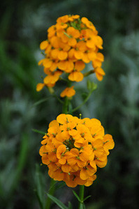 Photo - Western Wallflower