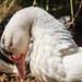 Downward duck