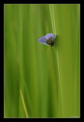 Azur de la Bugrane (jo.pensel) Tags: france macro nature butterfly bretagne papillon brest insecte finistre papillons polyommatusicarus faune macrophotographie azur lepidoptre biodiversit invertbr azurdelabugrane jopensel faunedebretagne vallondustangalar naturebretagne jocelynpensel jocelynpenselphotographe jopenselcom