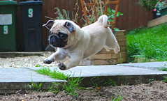 SUPER PUG!! (cmo247) Tags: dog cute pose garden puppy flying funny action pug superpug