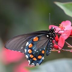 Orange and blue winged Pipevine Swallowtail sips Spicy Jatropha nectar (jungle mama) Tags: butterfly ngc npc aristolochia swallowtail spicyjatropha fairchildgarden jatrophaintegerrima fairchildtropicalbotanicgarden pipevineswallowtail battusphilenor peregrina supershot coth5 sunrays5 wingofthetropics