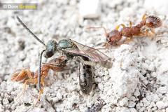 Hymenoptera Wars Redux II (Dom Greves) Tags: uk summer insect wasp wildlife ant august surrey aggression grassland defence invertebrate behaviour chalkdownland calcareousgrassland myrmica