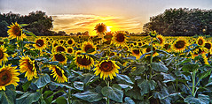 Sunset on Sunflowers (Kansas Poetry (Patrick)) Tags: summer sunflowers kansas patrickemerson patricknancyhaveagreatday renokansas chieftainroad