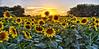 Sunset on Sunflowers (Kansas Poetry (Patrick)) Tags: summer sunflowers kansas patrickemerson patricknancyhaveagreatday renokansas chieftainroad