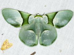 Calleremites subornata (Warren 1894) (Scrubmuncher) Tags: geometridae myanmar moth burma rosspiper calleremitessubornata lepidoptera myanmarburmawildburmabbc2expeditionbbcexpeditionrosspiperentomologistentomology tamanthi htamanthi moths lighttrap