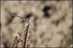 Dragonfly (dudu62) Tags: nikon dragonfly natura insetto abruzzo libellula nikond5000