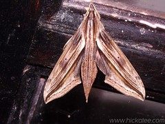 Sphinx moth - Xylophanes anubus - Family Sphingidae 3 (Hickatee) Tags: sphinx forest rainforest belize wildlife moth culture toledo jungle puntagorda sphingidae sphinxmoth xylophanes anubus hickatee hickateecottages xylophanesanubus hickateebelize hickateepuntagorda