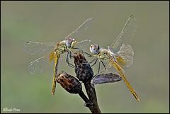 Face to face (Explore) (alfvet) Tags: macro nikon dragonflies ngc natura npc libellule insetti 197 valsesia sigma150 specanimal platinumheartaward d5100