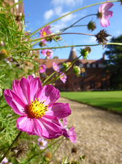 Look to the Cosmos (polymathmo) Tags: uk pink flowers cambridge summer england college nature garden university sunny girton cosmos oxbridge