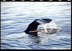 Whalesafari in Andenes, Norway (inchiki tour) Tags: travel sea norway photo picture whale  andenes whalesafari