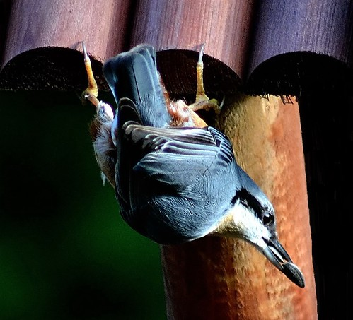 Nuthatch pose