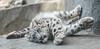 Snow Leopards 37 (Jan Crites) Tags: cats animal zoo cub illinois nikon wildlife leopard brookfield spotted everest bigcats snowleopard brookfieldzoo d600 sarani