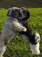 Eddy & Oskar 3 (PKub) Tags: dog hug play