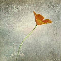 Californian Poppy (Skipology) Tags: stilllife orange texture square 01 poppy californianpoppy tutorial blend iphone workflow superimpose mobileart 2013 mobilephotography procamera iphonephotography iphoneart lenslight textureblend iphoneography filterstorm snapseed mextures procamera7 vision:mountain=0602 vision:text=0601 vision:sky=0595 vision:outdoor=0944 vision:plant=0749