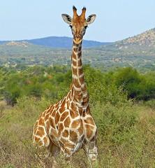 GocheGanas Wildlife Facts - Giraffe (GocheGanas) Tags: africa travel vacation holiday nature beautiful animals landscape cuisine desert wildlife culture adventure safari experience stunning destination giraffe wilderness accommodation serengeti fitness spa namibia windhoek wellness tranquillity gamedrive
