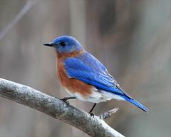 Eastern-Bluebird-175  (Sialia sialis) (egdc211) Tags: bird aves birdwatcher easternbluebird sialis sialiasialis sialia backyardbirding
