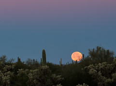 Moonset in Mesa -2 (Jack Pal) Tags: arizona cactus flora places moonset florafauna timeofday timeofdayyear