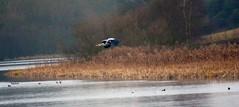 (laufar1) Tags: bird heron inflight wildlife