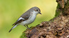 Female Pied Flycatcher 16-9 (Andrew Haynes Wildlife Images) Tags: