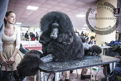 Barbone (Francesco Lucia Photography & Reportage) Tags: old italy dog english cane de march nikon san expo sheepdog bordeaux 9 03 poodle di 23 cz nikkor 35 bernardo marzo 56 bobtail catanzaro setter inglese dogo lupo cani esposizione czechoslovakian internazionale 2014 barbone dogue wolfdog afd 28200 cecoslovacco vlk d700 cinofila vliak eskoslovensk caccacib