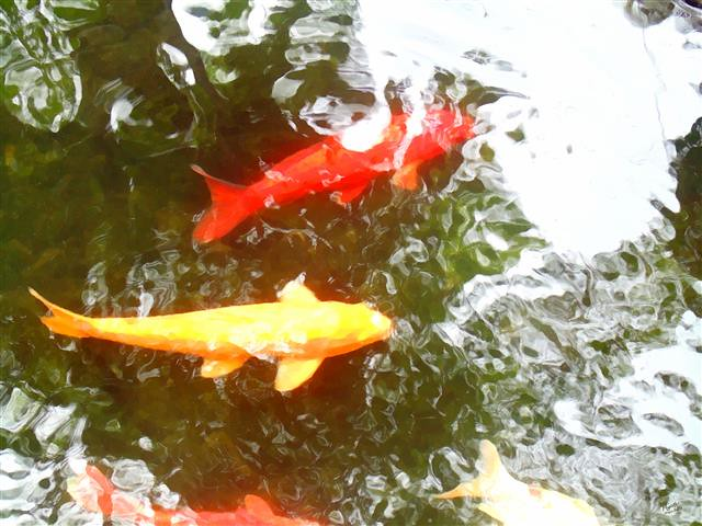 The world 39 s best photos of koi and koy flickr hive mind for Chinese koi pond