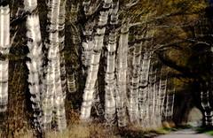 Alle de bouleaux (Valentin le luron) Tags: abstract nature switzerland du rhne lausanne arbres yves paysage valais noirblanc plaine alle romandie bouleaux paudex raron