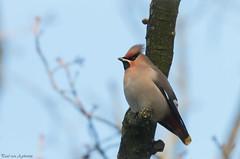 Pestvogel,Bohemian Waxwing (Paul van Agthoven) Tags: vogels nature canon 70d 100400 zoom winter food holland birding birdwatcher coth5