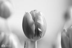 Tulips a different way...... ( Echt Mooi! Happy Shooting day!) Tags: bloemen tulips tulpen blackwhite