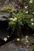 Saxifraga aspera (Rough Saxifrage) (Hugh Knott) Tags: flora zermatt switzerland valais saxifraga saxifragaaspera roughsaxifrage helvetica