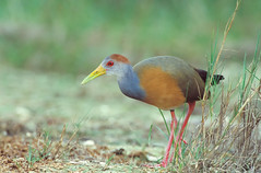 Gray-necked Wood-rail/Aramides cajanea (Scott Leonhart) Tags: action belize belizecity crookedtreewildlifesanctuary grayneckedwoodrailaramidescajaneaaramidescajanea tropical wadingbird walking