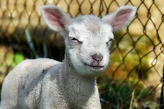 ~~ Le soleil dans l'oeil !! ~~ (Joélisa) Tags: agneaux bébés babies moutons jumeaux deux two mars2017 glay brebis maman fabuleuse