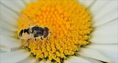 "7aaaol (2xfav.3xL)-zw.vlieg.margriet-22-7-16-t.huisjes.bl.tuin-cr'steyn-leiden-n.D90-105vr-r.f)-15x (""HansFfloraFauna"" - j fidom) Tags: hoverfly closeup bloem flower margriet"