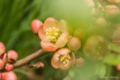 Chaenomeles japonica (Tofutierchen) Tags: pflanzen plants nature natur macro chaenomeles