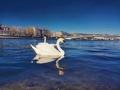 Swans in Namur (Ben Heine) Tags: benheinephotography photography composition light smartphone nature landscape beauty beautiful photo photographie art ifttt instagram benheine horizon benheineart