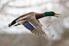 Mallard Duck 4-5-2017-14 (Scott Alan McClurg) Tags: aplatyrhynchos anas anatidae anseriformes flickr bird blue duck flap flapping flickrbirds flight fly flying life mallard migrate nature neighborhood sky spring waterfowl wild wildlife delaware