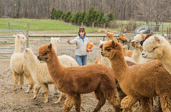 medina-7707 (FarFlungTravels) Tags: alpaca animal farm medinacounty onefineday shear wool