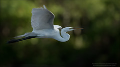 Great White Egret in Flight (Raymond J Barlow) Tags: egret birdinflight wildlife travel adventure florida raymondbarlow phototours workshop white