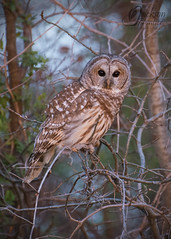 RSF8319a (jacksonfrontierphotography) Tags: barred owl sunset