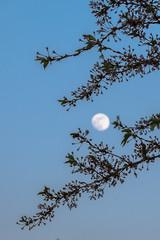 Moon between cherry blossoms (B. Versteeg) Tags: cherry blossom festival amsterdam bos forrest flowers trees amsterdamsebos fuji xt1 18135mm moon maan evening outdoors buiten sávonds hoofdstad nature