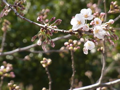 Another big Somei-yoshino tree (nofrills) Tags: flora floral plant plants flower flowers blossom blossoms cherry cherryblossom cherryblossoms beginning season spring 桜 ソメイヨシノ urbantree japan bud buds
