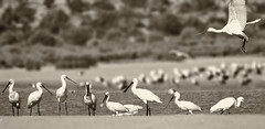 "A Flock of Spoonbill or a ""Canteen"" (Mark Photography 2017) Tags: ageing angle animal animalia animals background bird black blurred body bokeh bw composition crafts earth environmental eurasian exterior feather flock floor focus format formation frame framing freeze front genre geological group horizontal ibisesspoonbills lagoon lake land landscape leucorodia level life light marine marsh monochrome monotone motion natural nature orientation outdoor panorama pelecaniformes photo photography platalea pond sepia setting spoonbill sun toning travel treatment view water weathering white widescreen wild wildlife worldartscraftsphotographytreatmentimagetypemonotonemonochromeblackwhitebamdwbwsepiatoningsettingexterioroutdoorphotogenrestyletravelwildlifenatureorientationlandscapemotionfreezeframelightingsunlightnaturalframingcomposi"