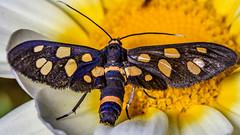 The pollinated butt... (chandra.nitin) Tags: animal deerpark handmaidenmoth insect macro moth nature ninespottedmoth newdelhi delhi india